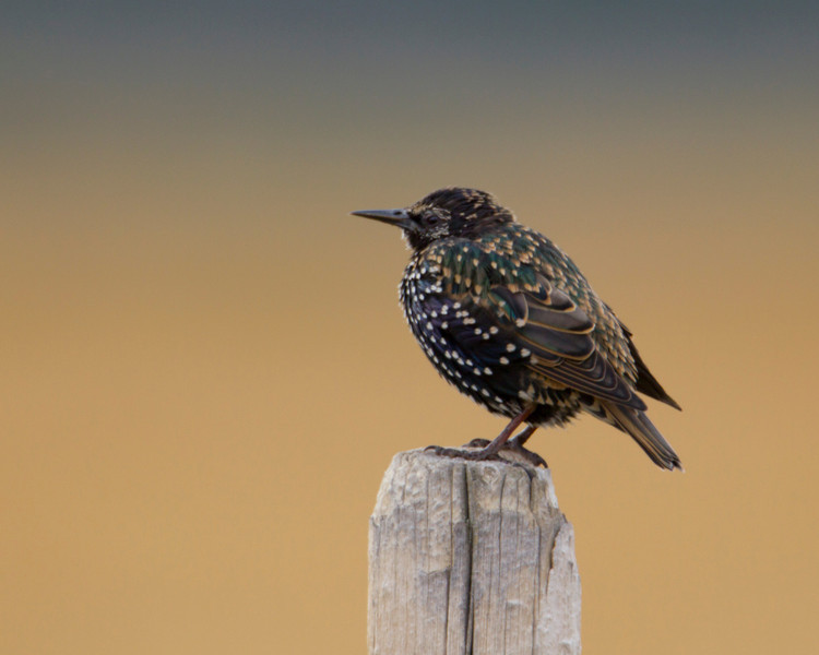 European Starling (Sturnus vulgaris) at Red Rock Lakes National Wildlife Refuge in September 2010 along Elk Creek Road in Montana.