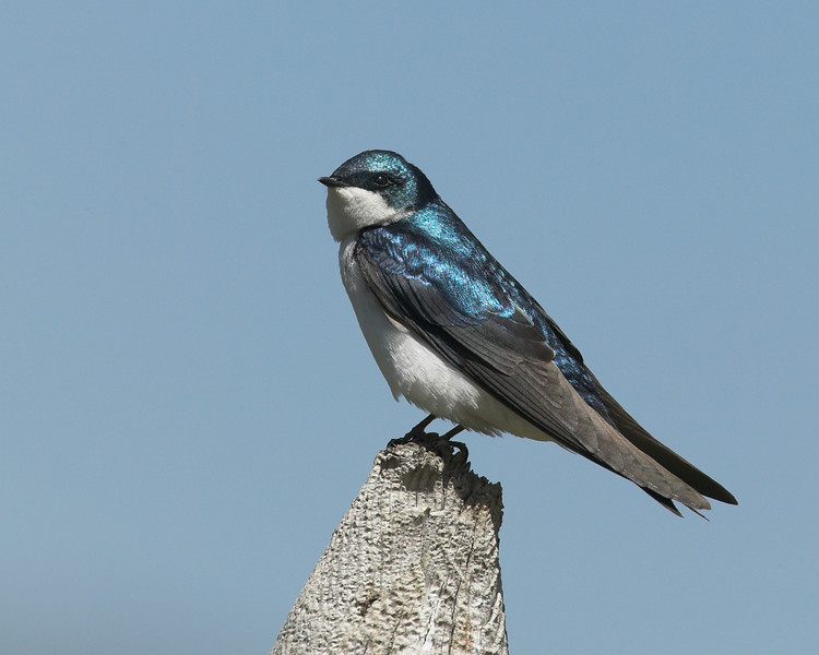 Tree Swallow in Red Rock Lakes National Wildlife Refuge, Montana, June 12, 2007.