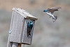 Hovering swallow in front of bird house along RedRock Road