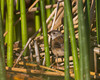 Marsh Wren at Widgeon Pond in Red Rock Lakes National Wildlife Refuge. August 18, 2010. Montana.