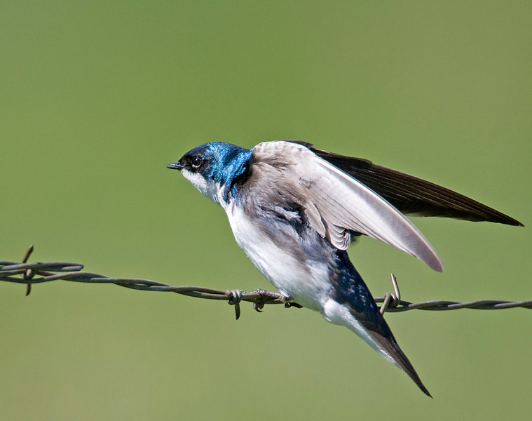 Tree Swallow ((Tachycineta bicolor)) on barbed wire. July 1st, 2009, Island Park, Idaho.