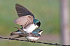 Tree Swallows Mating along Red Rock Road