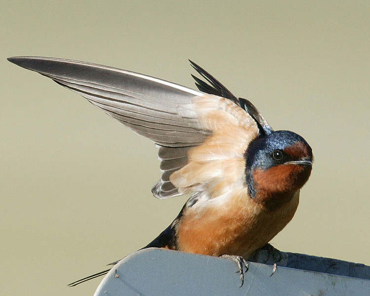 Barn Swallow ( Hirundo rustica), Red Rock Lakes National Wildlife Refuge, Montana, June 12, 2007.