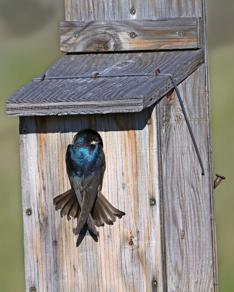 Tree Swallow looking into box. Actually, a Mountain Bluebird was in the box at the time and burst out. Later the Mountain bluebird went back into the box. Strange. June 18, 2010. Red Rock Lakes National Wildlife Refuge.
