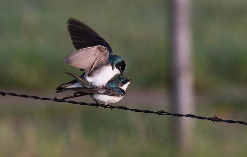 Tree Swallows Mating