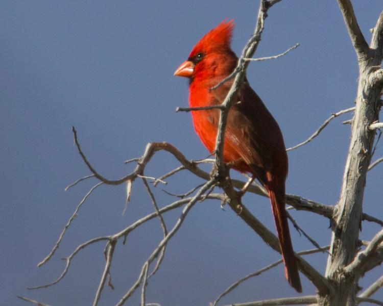 Northern Cardinal (western) found in Cornville, Arizona. April 17, 2011