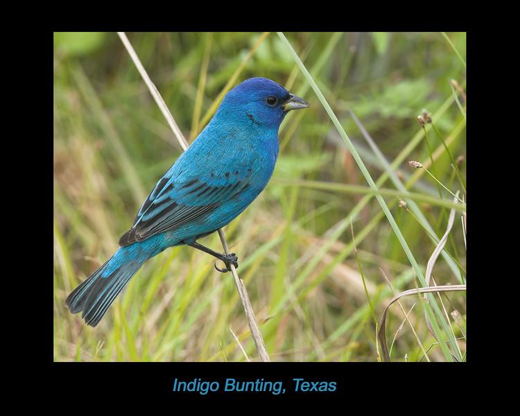 Indigo Bunting at Bay View RV Park, Rockport, Texas. April 2007