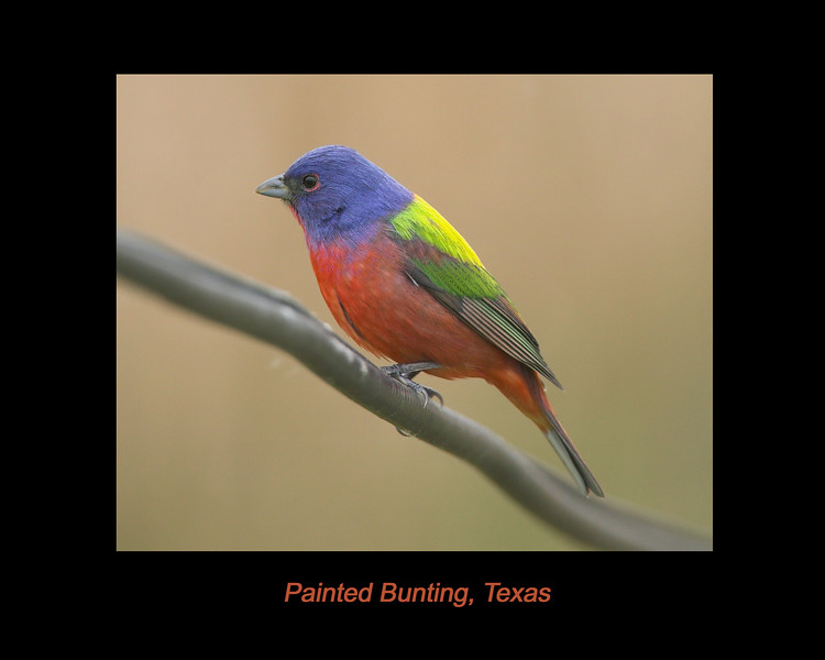 Painted Bunting at Rockport, Texas. April 2007