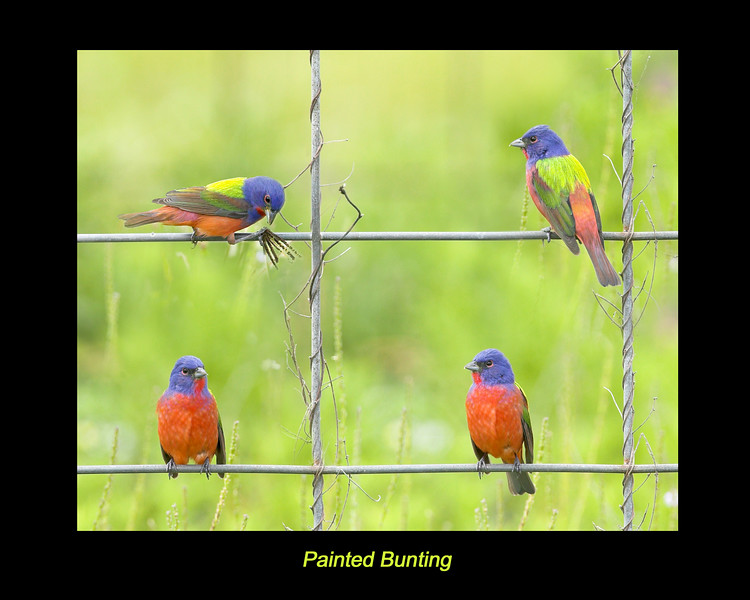 Different perspectives of the Painted Bunting, near Rockport, Texas. April 2007