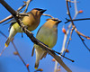 Cedar Waxwings at Silent Valley Club, San Jacinto Mountains, southern California, March 27,2013