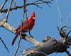 Cardinal at Bubbling Ponds, AZ. April 2011