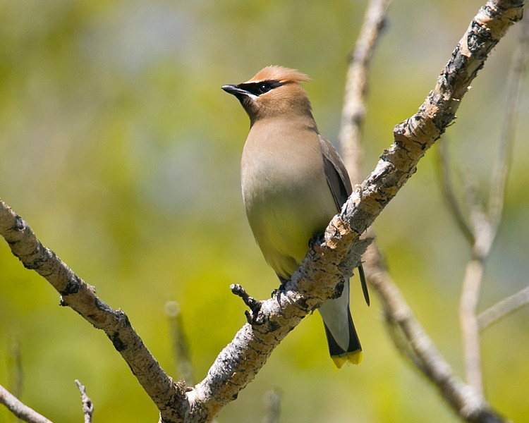 Cedar Waxwing (Bombycilla cedrorum)at Upper Campground, Red Rock Lakes National Wildlife Refuge, Montana. June 14, 2008.