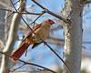 North American Cardinal Female near Oak Creek in Arizona. April 2011