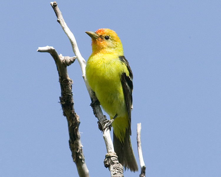 Western Tanager (probably male juvenile) at Red Rock Lakes National Wildlife Refuge, Montana. June 18, 2008. (Upper Lake Campground)