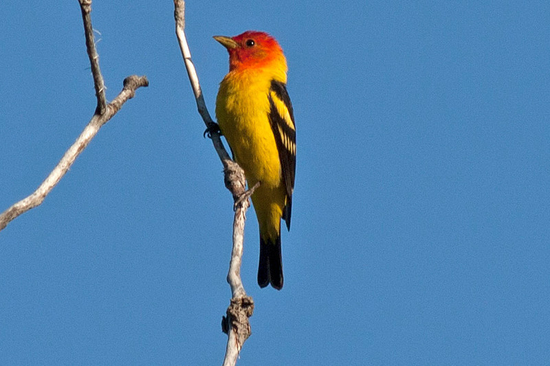 Western Tanager (Piranga ludoviciana) along forest road across from RedRock RV Park in Island Park, ID. July 29, 2012