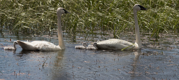 Trumpeter Swans with 4 cygnets