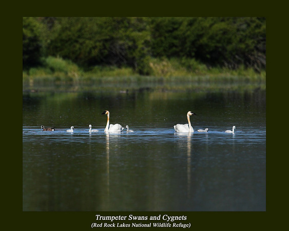 A family of Trumpeter Swans with their Cygnets in Upper Red Rock Lake at Red Rock Lakes National Wildlife Refuge in Montana. I believe that the red on their necks is from the constant 'dipping' into the muck on the bottom of the lake. June 12, 2007.