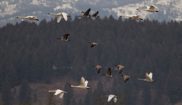 Trumpeter Swans and Canada Geese Flying Together