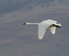 Trumpeter Swan flying over Upper Red Rock Lake in Red Rock Lakes Nat'l Wildlife Refuge. Aug 28, 2011