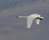 Trumpeter Swan flying over Upper Red Rock Lake in Red Rock Lakes Nat'l Wildlife Refuge. Aug 28, 2011