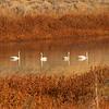 Swans at Lava Lake (Idaho)