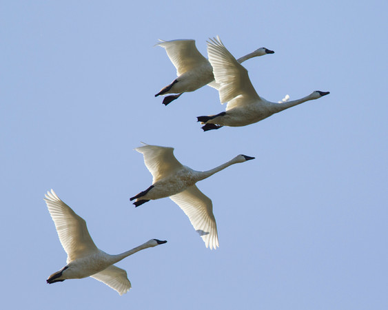 Tundra Swans flying over the Sacramento Delta. Dec 12, 2012