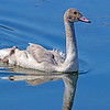 Cygnet in Henry's Lake