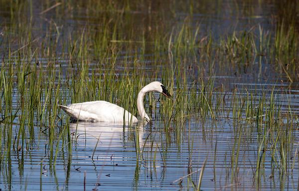 Trumpeter Swan on Swan Lake, Idaho