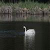 Trumpeter Swan, Silver Lake