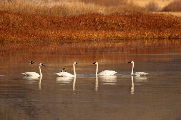 Trumpeter Swans at Lava Lake (Idaho)