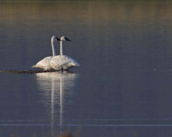 Swans on Widgeon Pond