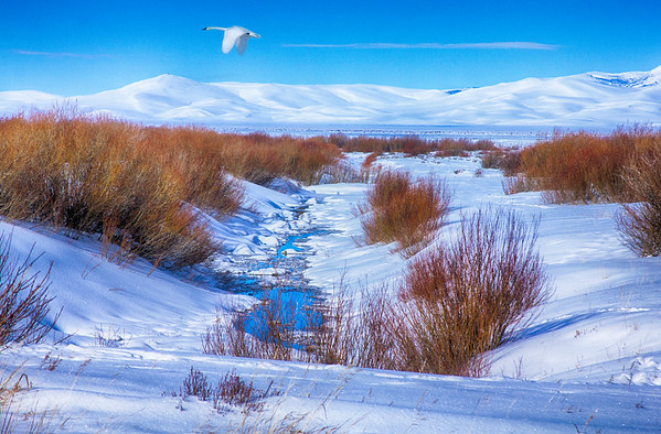 Trumpeter Swan flying over snow in RRLNWR
