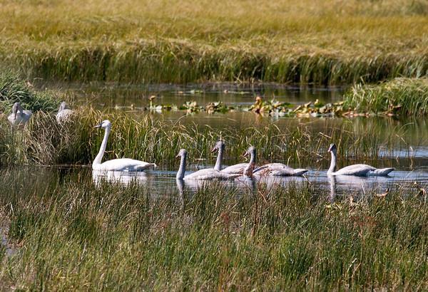 Trumpeter Swan family on Swan Lake