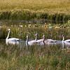 Trumpeter Swan family on Swan Lake