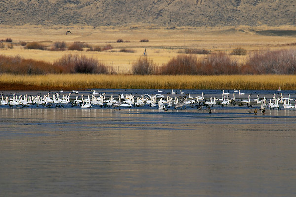 Trumpeter Swans (November)