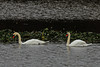 Mute Swans in a canal in the Sacramento California delta. Dec 2012