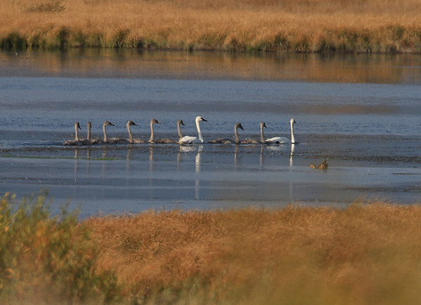 Cygnets (8) and Trumpeter Swans