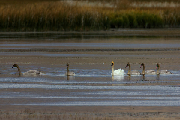 Swan and cygnets in River Marsh at Red Rock Lakes National Wildlife Refuge. Sep 2013.