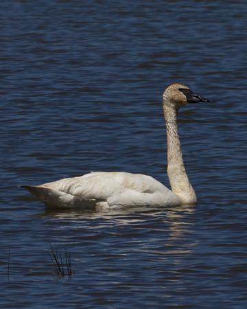 Trumpeter Swan (Cygnus buccinator), Lower Red Rock Lake, Red Rock Lakes National Wildlife Refuge, June 18, 2010. Montana.