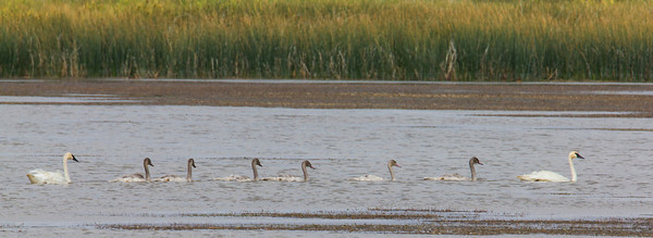 Trumpeter Swans and six Cygnets in River Marsh area of Lower Red Rock Lake on Red Rock Lakes National Wildlife Refuge, Montana. August 21, 2013.