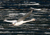 Trumpeter Swan Flying over ice on Henry's Lake near Island Park, Idaho. May 2011