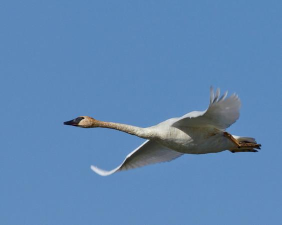 Trumpeter Swan flying in refuge