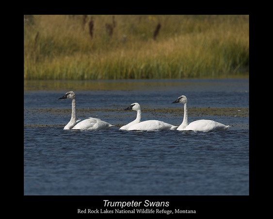 Trumpeter Swans on Culver Pond in Red Rock Lakes National Wildlife Refuge, Montana