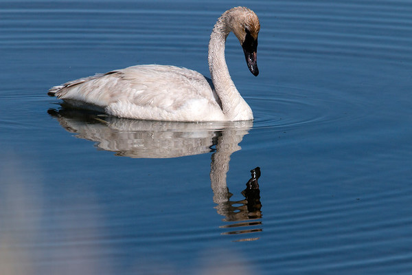 Trumpeter Swan and reflection