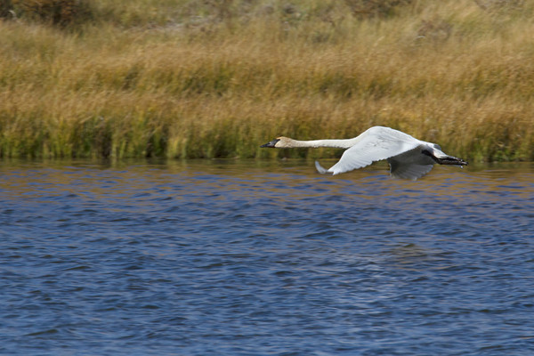 Trumpeter Swan flying low over Culver Pond in Red Rock Lakes National Wildlife Refuge. Sept 19, 2010.