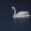 Trumpeter Swan on Silver Lake