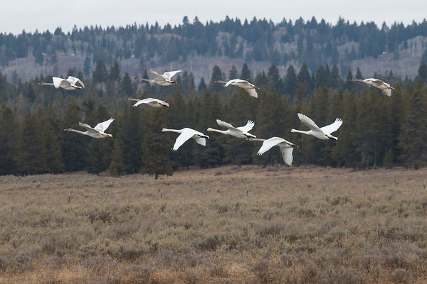 Trumpeter Swans and Cygnets Flying