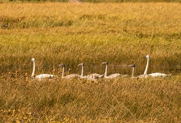 Swan Lake Cygnets (near US 20 Idaho)
