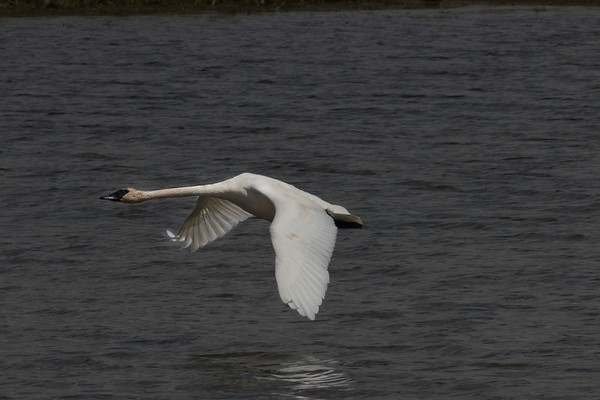 Trumpeter Swan flying over Red Rock River