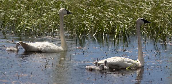 New Brood of Swans on Swan Lake, June, 2018